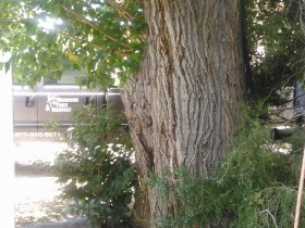 Mulberry-Tree-in-Palisade