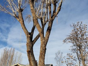 cottonwood-large-removal